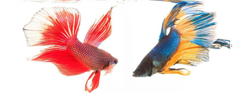 fighting fish betta