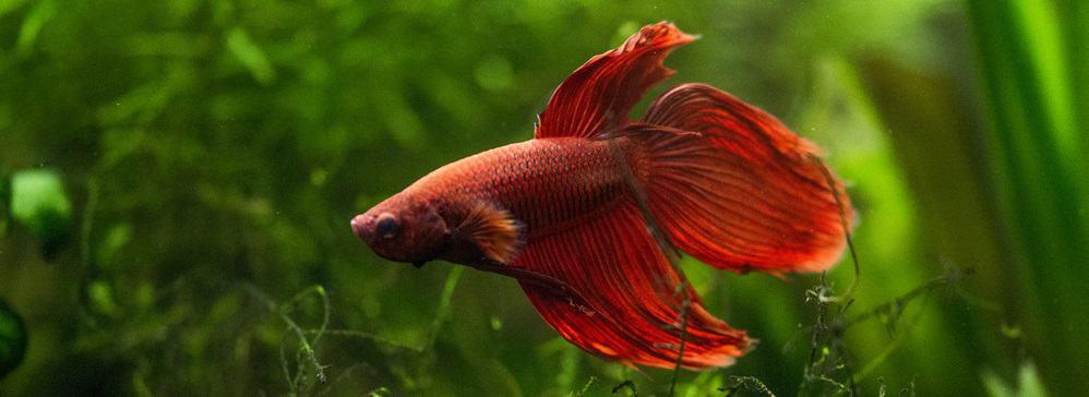 betta aquarium best