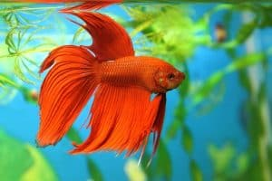 Aquarian fish Betta splendens