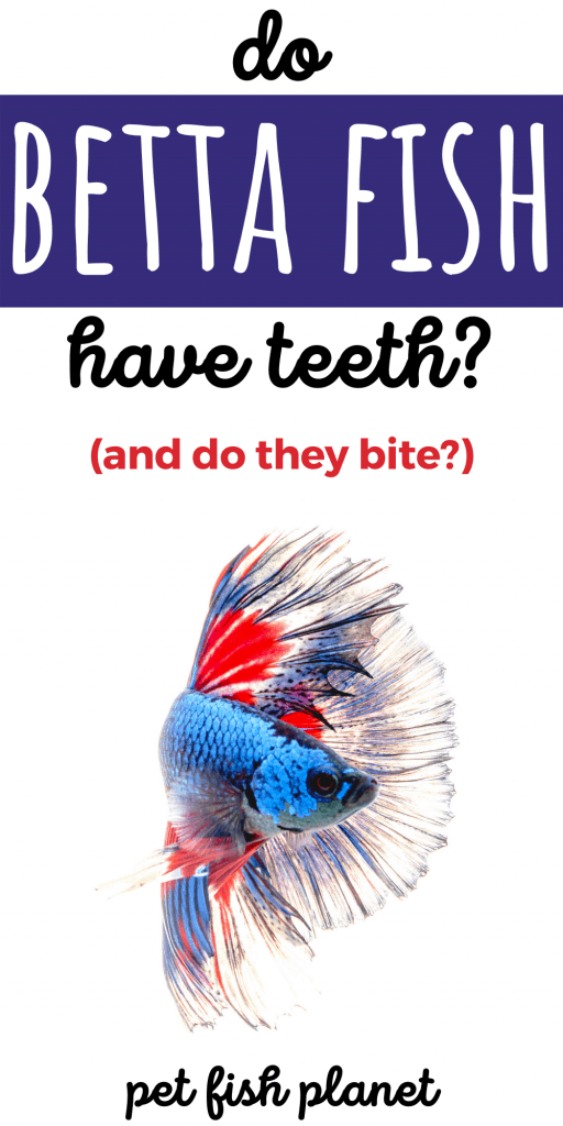 Do Betta Fish Have Teeth (And Can They Bite?)