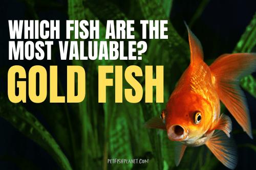 funny goldfish memes