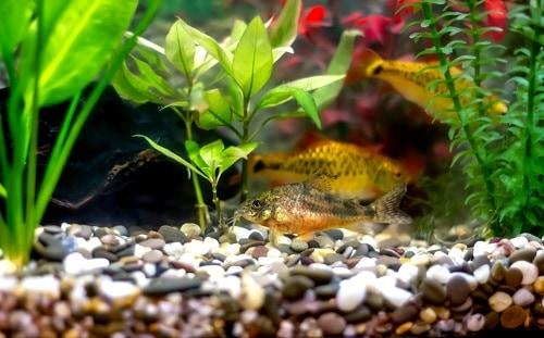 golden barbs - bright orange tropical aquarium fish
